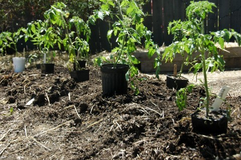 Tomatoes: Trench Planting Method! - Reluctant Entertainer