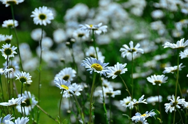 oxeye daisies in a bucket