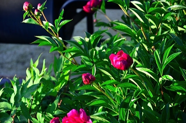 this year - How To Cut Peonies