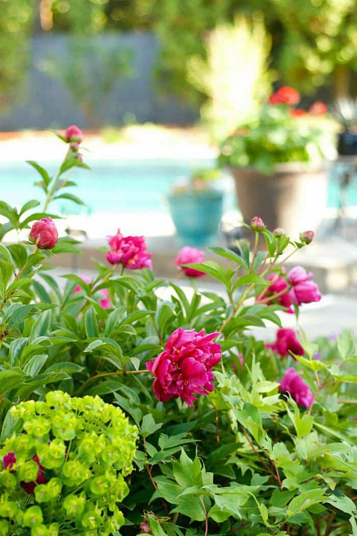 how to cut and preserve fresh peonies for entertaining