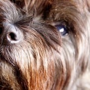 Haggis Cairn Terrier Dog | www.reluctantentertainer.com