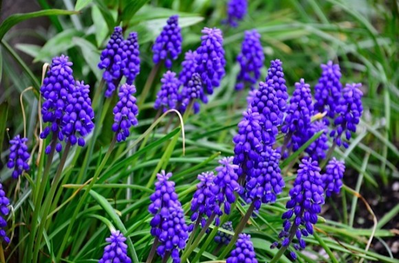 grape hyacinth flower | reluctant entertainer