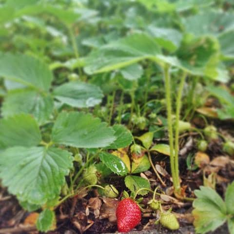 First strawberry of year | Reluctant Entertainer