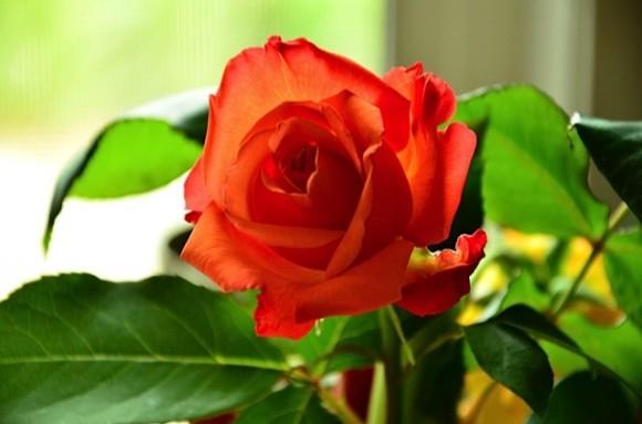 Rhubarb & Roses