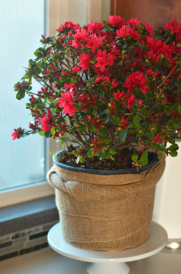 Enjoing an azalea plant indoors