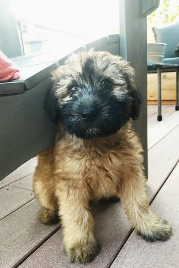Alder the Entertainer Whoodle Puppy