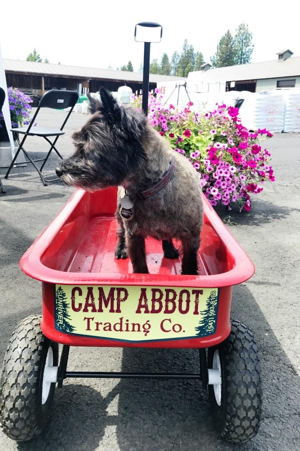 Haggis Cairn Terrier