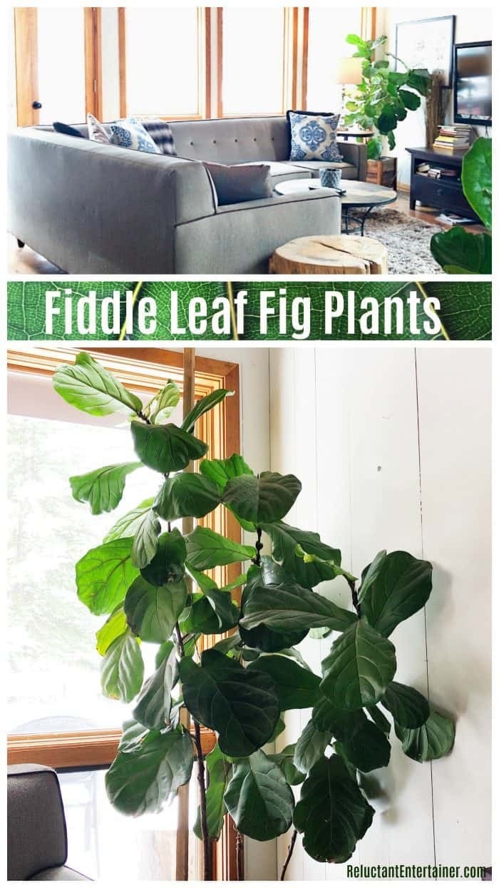 Decorating with fiddle leaf fig plants