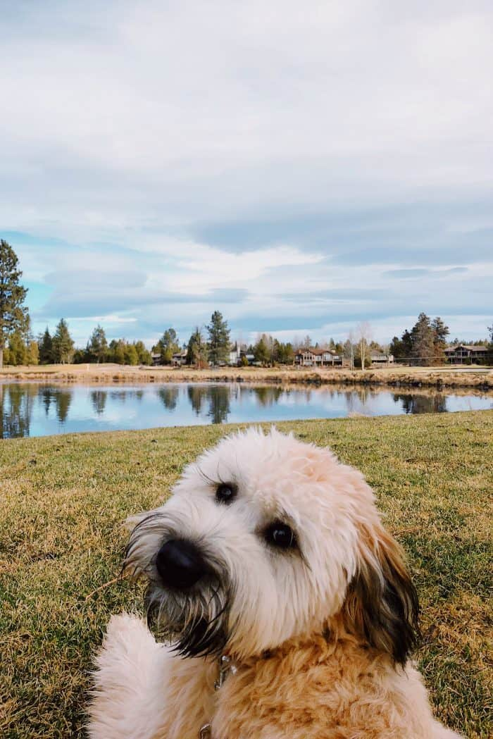 Alder the Whoodle: One year old (Sunriver, OR)