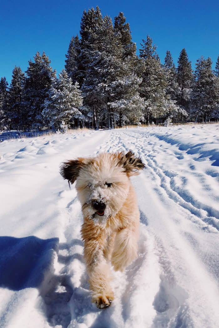 Whoodle puppy: snow