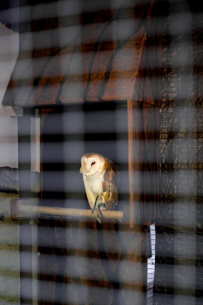 Dawn Wildlife Morning at Sunriver Nature Center - barn owl