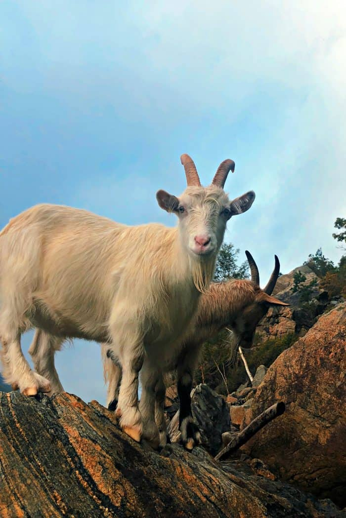 Homelands Viking Cruise Excursions Norway - billy goat